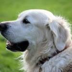 Animaux de compagnie:le chien