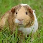 Animaux de compagnie : cochon d'inde